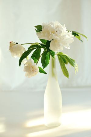 white peony in glass backlighting with sun   photo