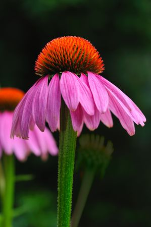 purple coneflower close up in garden photo