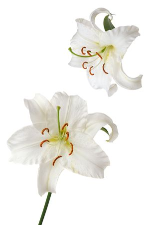 lily flower: white lily Casablanca isolated on white background Stock Photo