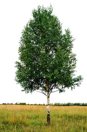 single birch  tree isolated Stock Photo - 8065797