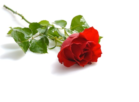 single red rose   for St.Valentines Day on white background photo
