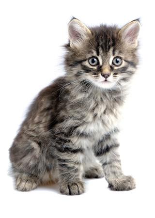 gato gris: gatito 1,5 meses de edad sobre fondo blanco