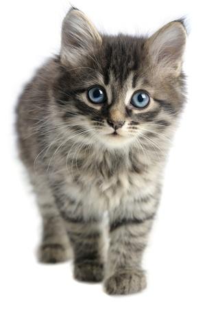 gato gris: gatito sobre fondo blanco Foto de archivo