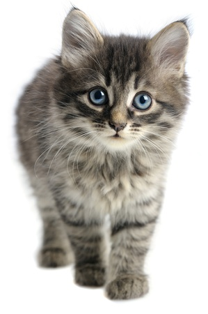gray cat: kitten on white background Stock Photo