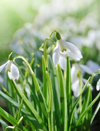backlighting with spring sun snowdrops   photo