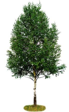 arboles frondosos: �rbol de abedul �nico aislado sobre fondo blanco
