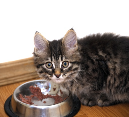 small kitten near its bowl with meal, looking at camera photo