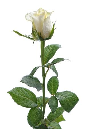 singolo fiore bianco rosa isolato su sfondo bianco Archivio Fotografico