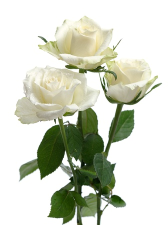 isolated in white background: bunch of white roses  isolated on white background Stock Photo