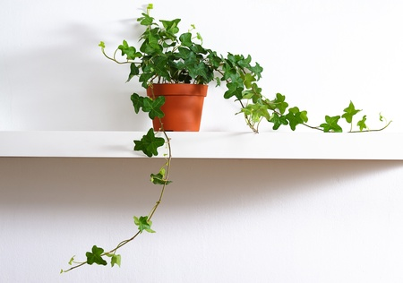 ivy in pot standing on white shelf Stock Photo - 9347110