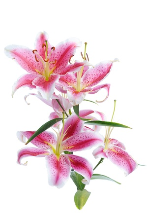 white lilly: pink lily isolated on white background