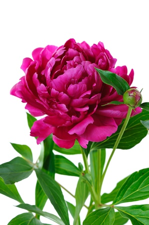 red peony  isolated on white background photo