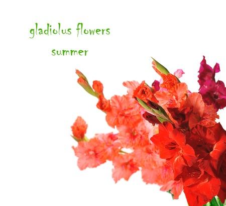 red gladiolus isolated on white background photo