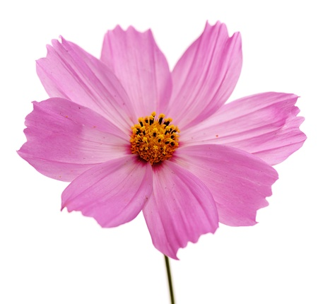 single pink flower of cosmos isolated on white background photo