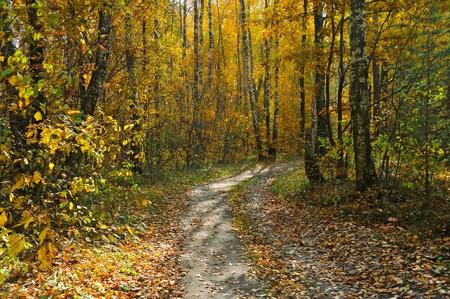 birch grove in autumn forest Stock Photo - 11011630
