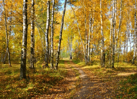 deciduous: birch grove in autumn forest