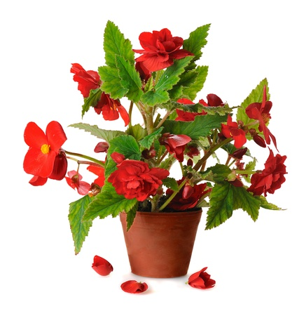 begonia:  red blooming begonia in pot in pot isolated on white background