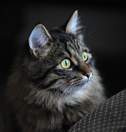 portrait of cat on dark background Stock Photo - 11241399