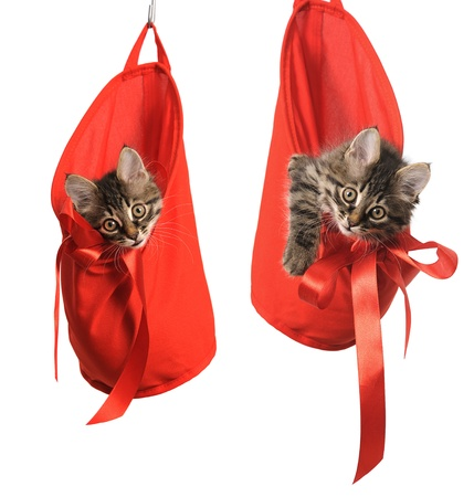 gray cat: small kitten in red bag on white background Stock Photo