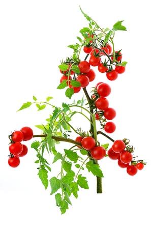 twig of fresh cherry tomato isolated on white background photo