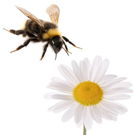 bumblebee e fiore isolato su sfondo bianco