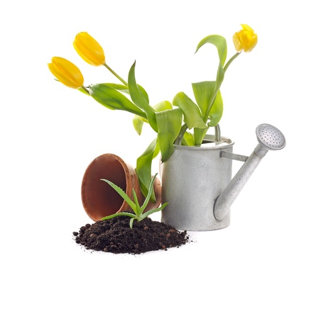 clay pot, iron watering can, soil, seedling, tulips on white background photo