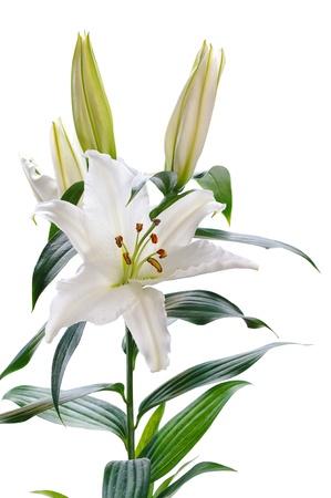 lirio blanco: lirio blanco sobre fondo blanco Foto de archivo
