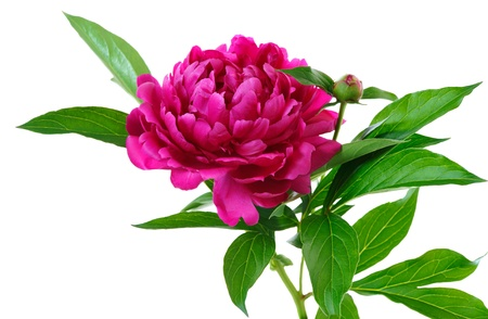 floristic: red peony  isolated on white background Stock Photo