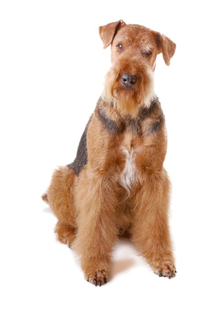 pureblooded dog Airedale isolated on white background Stock Photo - 13109250