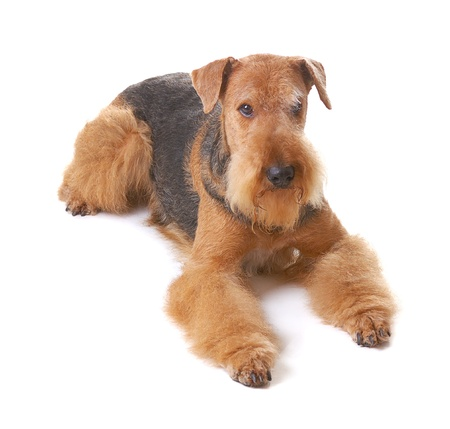 airedale terrier dog:  pureblooded dog Airedale isolated on white background