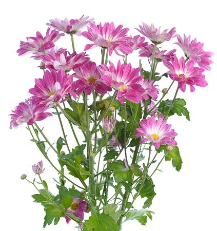 kamille: pink chrysanthemum on white background Stock Photo