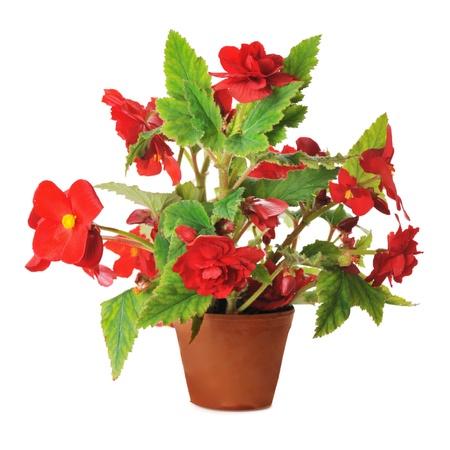 begonia: red begonia n pot isolated on white background Stock Photo