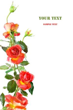 rosas naranjas: marco floral vertical de rosas rojas aisladas sobre fondo blanco Foto de archivo