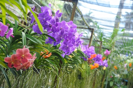 floriculture: colorful flowers of orchid  in tropical  greenhouse