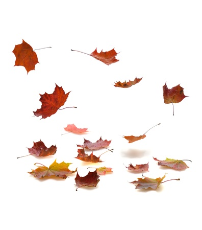 falling leaves: autumn falling leaves with shadow on white background