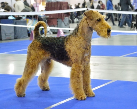 airedale: standing  in  dogshow ring Airedale
