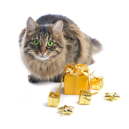 cat with gold gift boxes  on white background photo