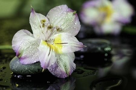 spa still life  flower on wet black bakground with stones Stock Photo - 16448808