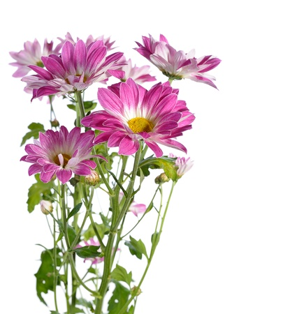 kamille: pink chrysanthemum on white background Stock Photo