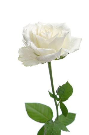 white rose  isolated on white background photo
