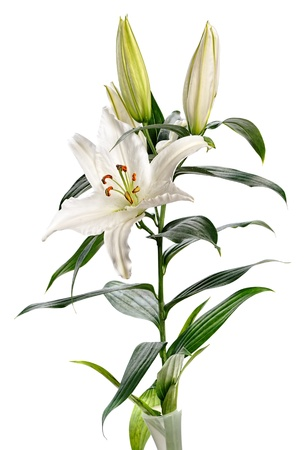 white lily Casablanca isolated on white background Stock Photo