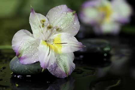 spa still life  flower on wet black bakground with stones photo