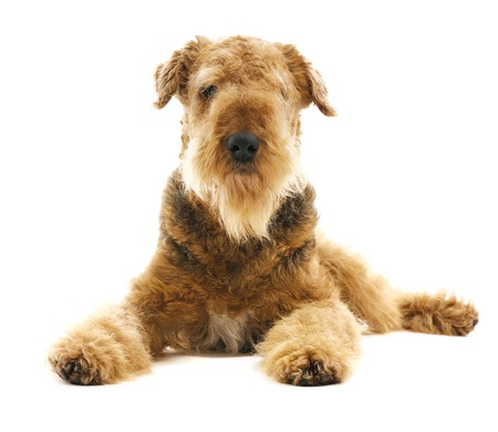 willing:  pureblooded dog Airedale  looking straight isolated on white background