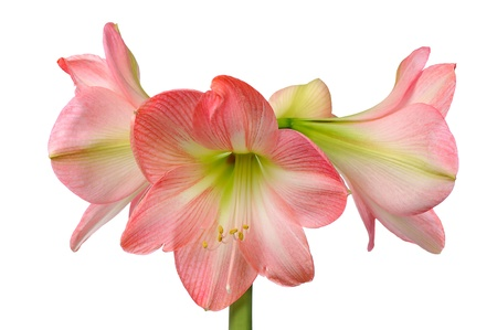 belladonna: flower of pink amaryllis  isolated on white background