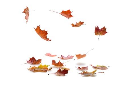 hojas secas: oto?o las hojas de arce que cae sobre fondo blanco con la sombra Foto de archivo