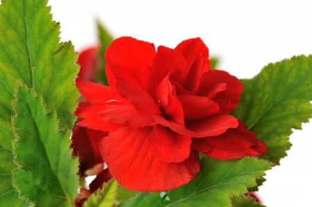 begonia: red begonia isolated on white background Stock Photo