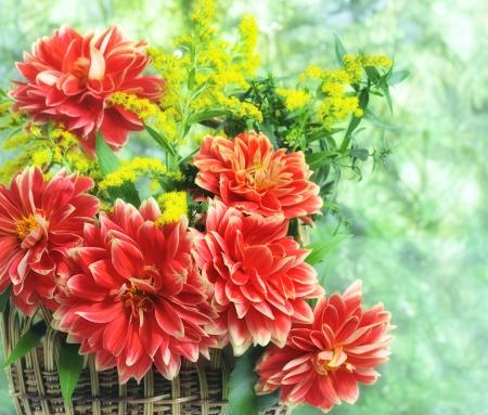 georgina: autumn flowers of georgina in basket  on green background