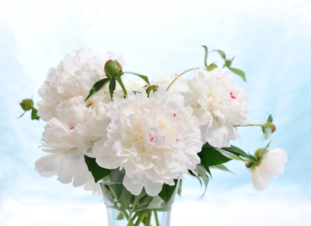 floral composition of white peonies on blue background photo