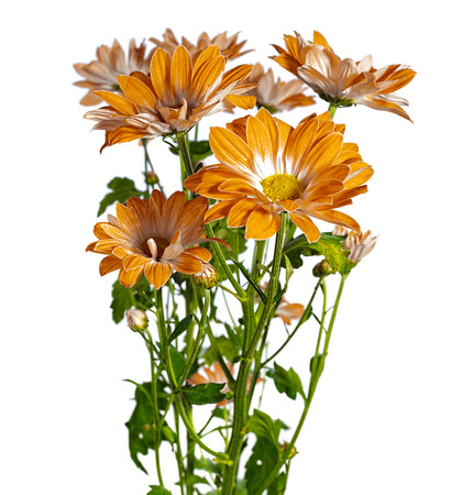 kamille: yellow chrysanthemum on white background