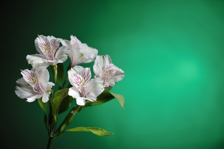 alstroemeria blanco sobre fondo verde photo